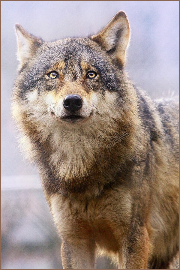 ��� ��� ���� 2014 - ������ ����� ������ ������� 2014  Wolf
