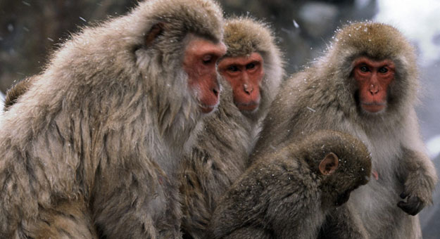 بالفيديو إناث القرود يجذبن الذكور بطريقة غريبة