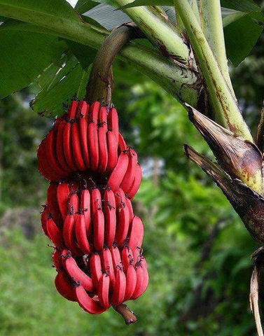 ����� ������ 2014 , ������� �� ����� ������ 2014 , Banana red