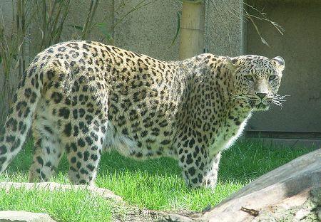 ��� ����� ������ , ������� �� ����� ������ Tiger Arabic