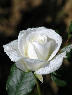 صور زهرة الورده 2015 , معلومات عن زهرة الورده 2015 Rose Flower