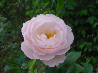 ��� ���� ������ 2015 , ������� �� ���� ������ 2015 Rose Flower
