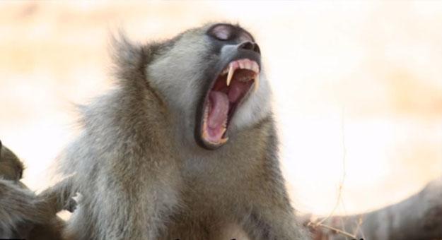 تعرف على عيد القرد الوحشى في الصين