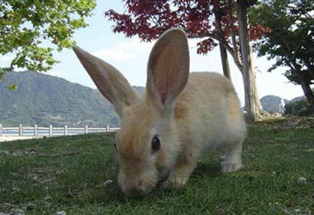 صور جزيرة الأرانب فى اليابان