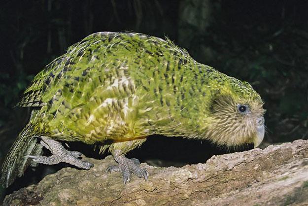 ��� ���� Kakapo , ������� �� ���� Kakapo
