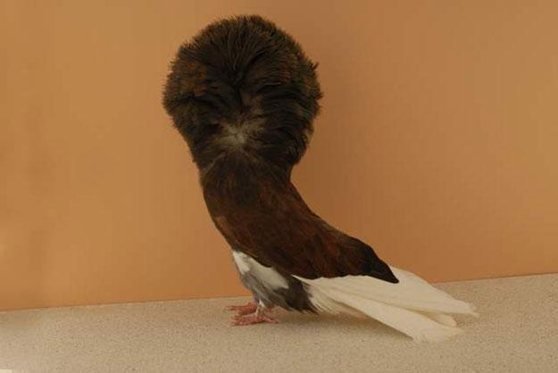 ��� �������� �� ������ �������� 2014 Jacobin Pigeon