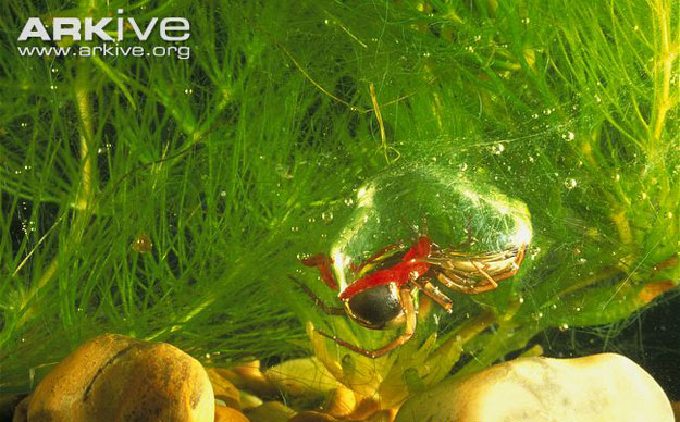 ��� �������� �� ������ ����� Diving Bell Spider