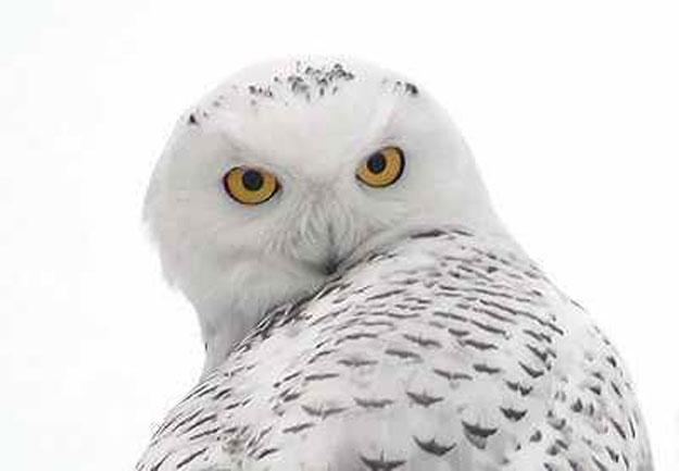 ��� ������ ������� 2014 � ������� �� ������ ������� 2014 snowy owl