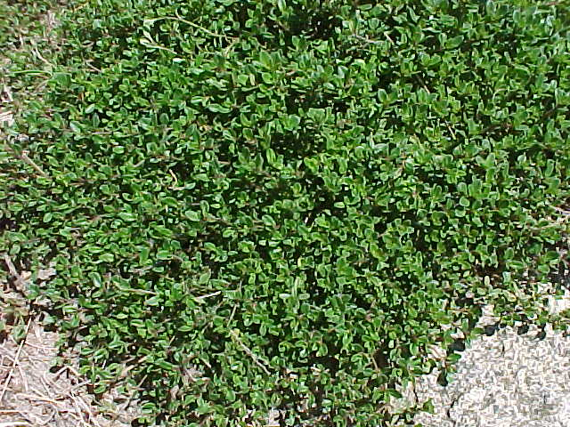 صور نبات الزعتر 2014 ، معلومات عن نبات الزعتر 2014 Thyme