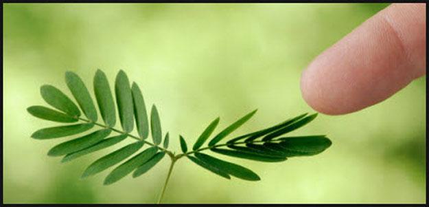 صور نبات البلادونا ، الست المستحية 2014 ، معلومات عن نبات الست المستحية 2014