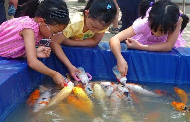 بالفيديو أسماك رضيعة كالاطفال في الصين ، Koi