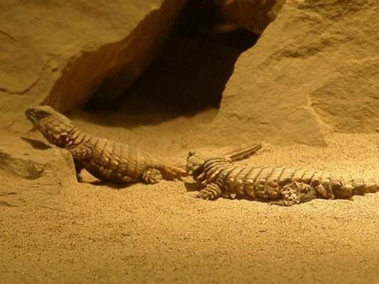 ��� �������� �� ������� ������ armadillo girdled lizard