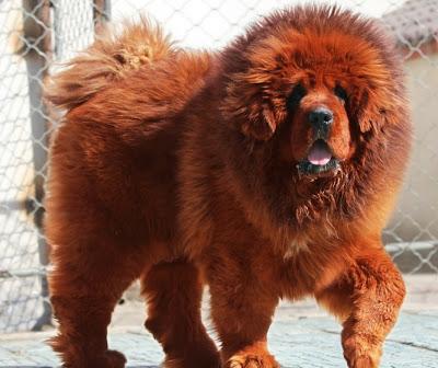 ��� �������� �� ��� ����� ������ Red Tibetan Mastiff
