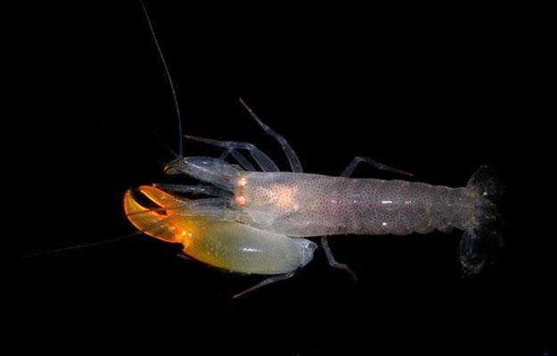 صور الجمبرى السفاح 2014 , تعرف على سمكة الجمبرى السفاحة 2014