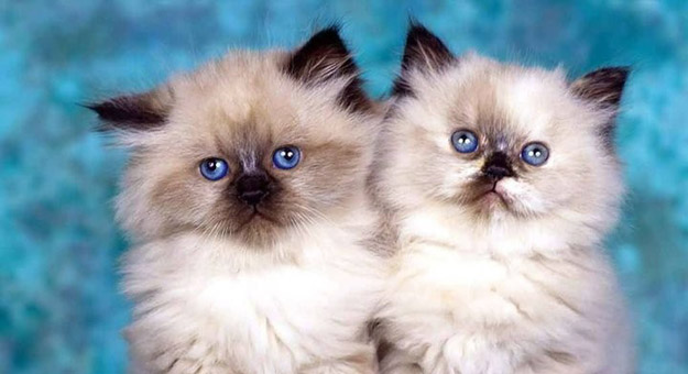 صوره معلومات عامة عن القطط الشيرازى