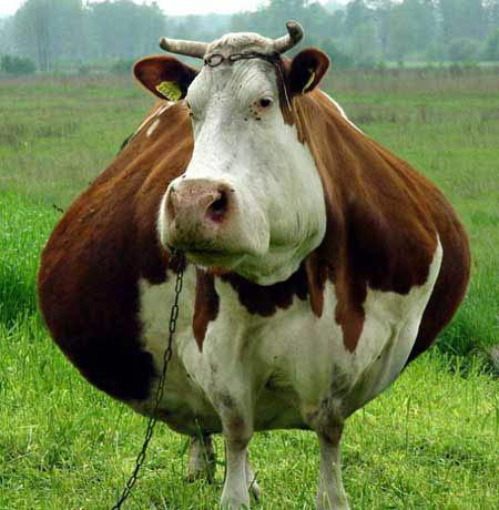 ��� ���� ����� 2014 , ��� ��� 2015 , funny cow pictures