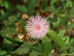 صور نبات ميموسا بوديكا , معلومات عن نبات ميموسا بوديكا 2015