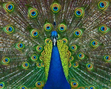 بوستات وتغريدات لمحبي وعشاق الطاووس 485479_dreambox-sat.