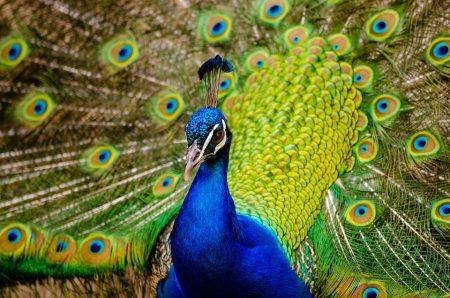بوستات وتغريدات لمحبي وعشاق الطاووس 485485_dreambox-sat.
