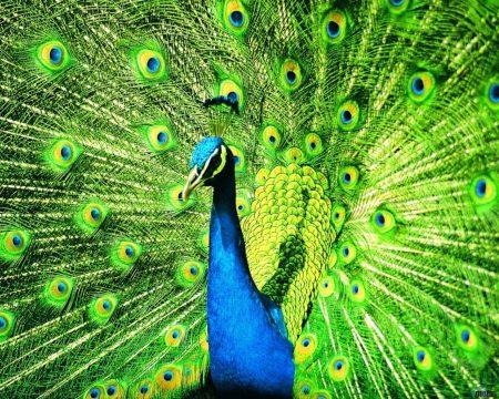 بوستات وتغريدات لمحبي وعشاق الطاووس 485487_dreambox-sat.