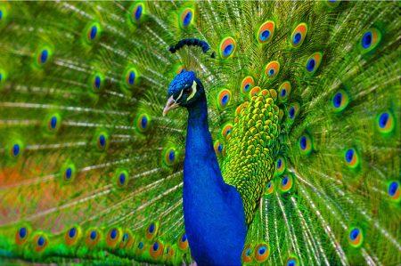 بوستات وتغريدات لمحبي وعشاق الطاووس 485488_dreambox-sat.