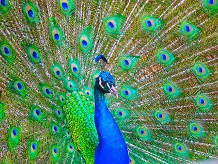 بوستات وتغريدات لمحبي وعشاق الطاووس 485494_dreambox-sat.