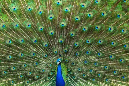 بوستات وتغريدات لمحبي وعشاق الطاووس 485496_dreambox-sat.