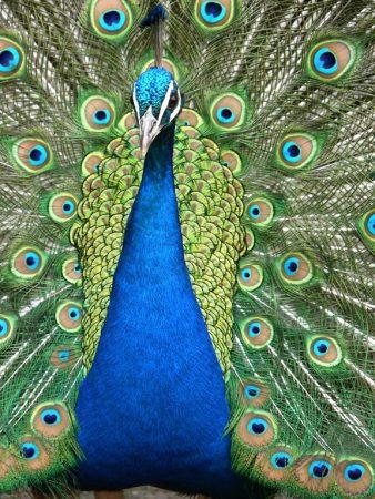 بوستات وتغريدات لمحبي وعشاق الطاووس 485508_dreambox-sat.